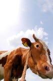 Mucca I Immagini Stock Libere da Diritti