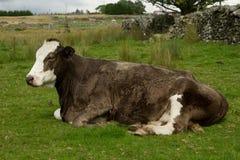 Mucca incinta. Fotografia Stock