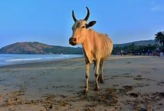 Mucca indiana Immagini Stock Libere da Diritti