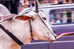 Mucca indiana Fotografia Stock