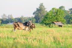 Mucca indigena tailandese della razza su erba Fotografia Stock Libera da Diritti