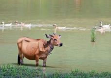Mucca indonesiana in stagno Fotografia Stock Libera da Diritti