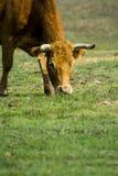 Mucca isolata libera e selvaggia in un campo fotografia stock libera da diritti