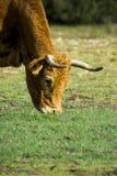 Mucca isolata libera e selvaggia in un campo immagini stock libere da diritti