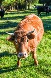 Mucca libera del bestiame al pascolo libero sul pascolo di verde dell'alta montagna Fotografia Stock Libera da Diritti