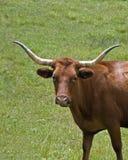 Mucca lunga del corno Fotografia Stock Libera da Diritti