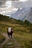 Mucca lungo le alpi italiane Fotografia Stock Libera da Diritti