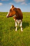 Mucca macchiata bianca rossa dell'en in un paesaggio olandese Immagini Stock Libere da Diritti