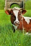Mucca macchiata che riposa sull'erba verde Fotografia Stock