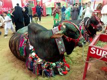 Mucca Mandi immagine stock