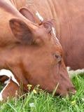 mucca marrone Immagine Stock Libera da Diritti