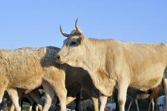 mucca marrone Fotografie Stock Libere da Diritti