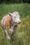 mucca marrone Immagini Stock Libere da Diritti