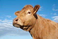 mucca marrone Immagini Stock