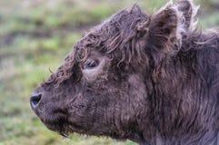 mucca marrone Fotografia Stock Libera da Diritti