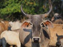 mucca marrone Fotografia Stock