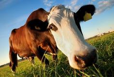 Mucca marrone curiosa Fotografia Stock