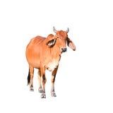 Mucca marrone isolata sui precedenti bianchi Fotografie Stock