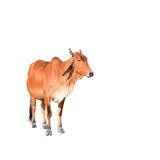 Mucca marrone isolata sui precedenti bianchi Fotografia Stock
