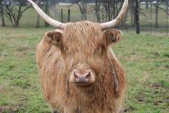 Mucca marrone scozzese con i corni lunghi in prato sull'azienda agricola nel Mississippi immagine stock libera da diritti