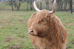 Mucca marrone scozzese con i corni lunghi in prato sull'azienda agricola nel Mississippi fotografia stock libera da diritti
