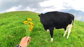 Mucca maschio di alimentazione manuale di POV con i fiori del prato stock footage