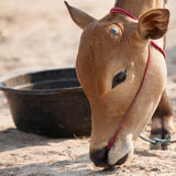 Mucca maschio tailandese Fotografie Stock