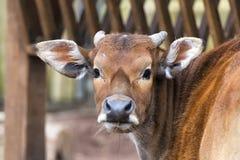 Mucca mentre esaminandovi Fotografia Stock