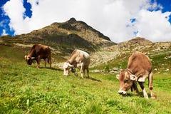 Mucca Milch che pasce sul pascolo alpino dell'erba verde delle montagne Fotografie Stock Libere da Diritti