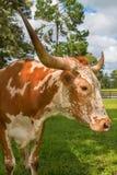 Mucca miniatura adulta della mucca texana del Texas Immagini Stock