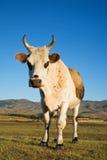 Mucca Mongolia Asia fotografia stock