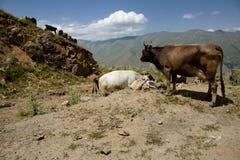 Mucca in montagna Immagine Stock