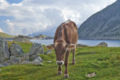 Mucca in montagna Fotografia Stock Libera da Diritti