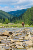 Mucca in montagne Immagine Stock