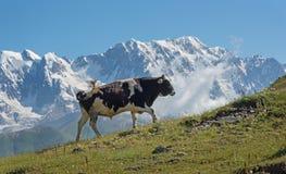 Mucca in montagne Immagini Stock Libere da Diritti