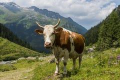 Mucca in montagne austriache Immagine Stock
