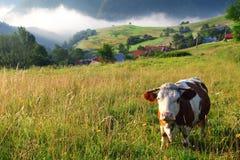 Mucca in montagne dell'alpe Fotografia Stock