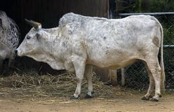 Mucca nana dello zebù Immagine Stock Libera da Diritti