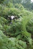 Mucca nascondentesi, in bianco e nero, nascondentesi nelle felci Fotografie Stock Libere da Diritti