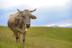 Mucca in natura Immagine Stock