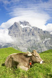 mucca nazionale Fotografia Stock Libera da Diritti