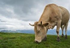 Mucca nei mountaints con il cielo drammatico e l'erba verde Immagine Stock
