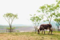 Mucca nel campo fotografie stock libere da diritti