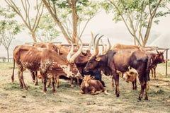 Mucca nel campo Immagine Stock Libera da Diritti