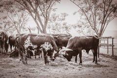 Mucca nel campo immagini stock