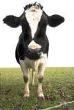 Mucca nel campo Fotografie Stock