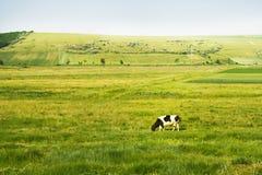 Mucca nel campo Fotografia Stock