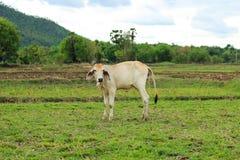 Mucca nel campo Immagine Stock