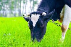 Mucca nel campo fotografia stock libera da diritti