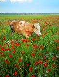 Mucca nel campo dei wildflowers   Fotografia Stock